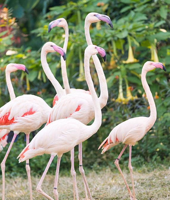 galif flamingos dk